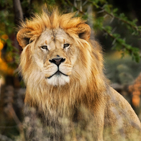 Lion Portrait by Cristobal Garciaferro Rubio - Animals Lions, Tigers & Big Cats