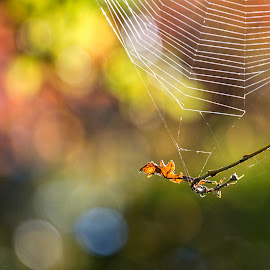 Morning light by Vibeke Friis - Nature Up Close Webs ( web, bokeh )
