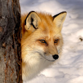 Red Fox by Betty Arnold - Animals Other ( fox, red fox, animal,  )