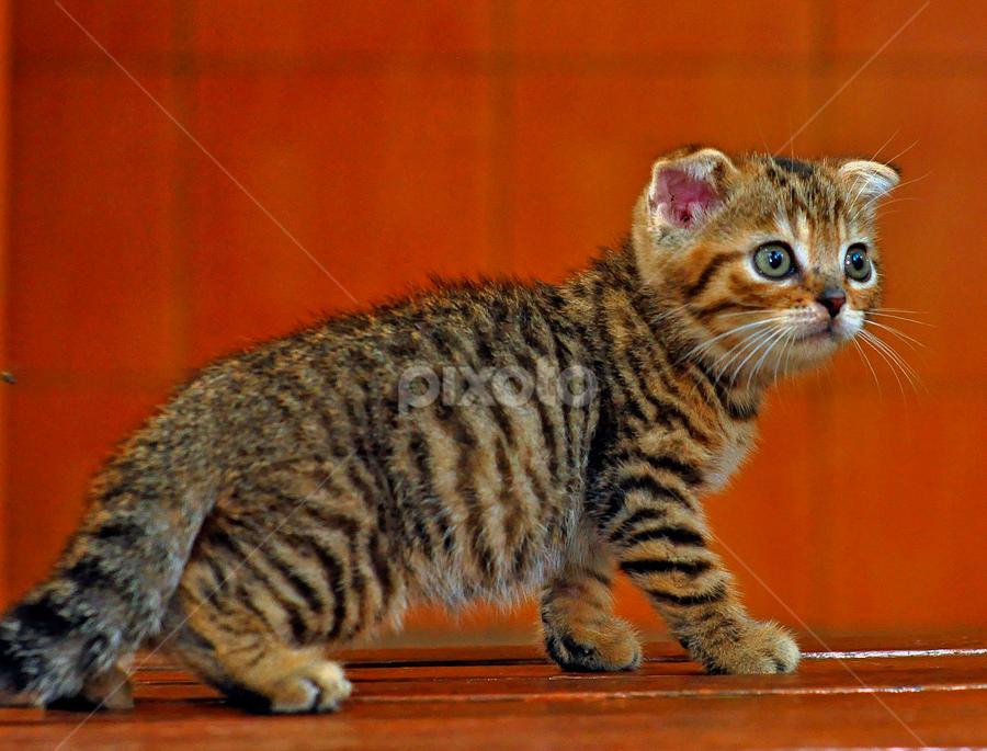 by Cacang Effendi - Animals - Cats Portraits ( cats, kitten, cattery, animal, chandra )
