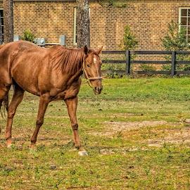 Grazing Horse by Sandy Friedkin - Animals Horses ( chestnut, walking, grazing, corral, horse,  )