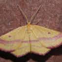 Chickweed Geometer - Hodges#7146