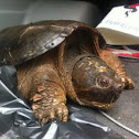 Eastern Snapping Turtle