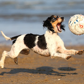 The Ball Boy by Gareth Evans - Animals - Dogs Playing ( ball, spaniel, focus, beach, dog,  )
