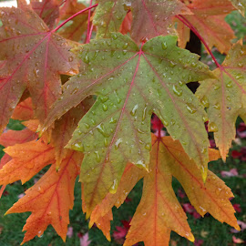 Fall leaves in the rain by Caprice Peugeot Caster - Nature Up Close Trees & Bushes (  )
