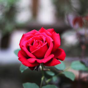 Red Rose  by Murshalin Ahmed - Novices Only Flowers & Plants