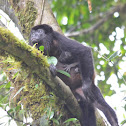 Howler Monkey and newborn