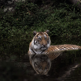 Tiger by Jhonny Yang - Animals Lions, Tigers & Big Cats