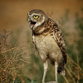 Burrowing Owl Spots A Treat Of Interest by Leslie Reagan - Animals Birds ( bird, burrowing owl, nature, owl, raptor )