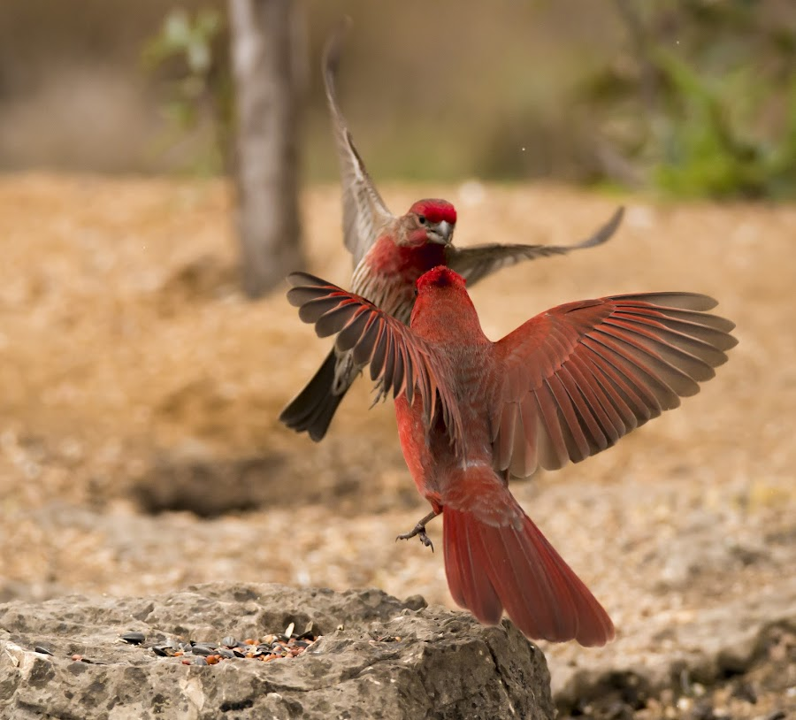 Combat by Sandy Hurwitz - Animals Birds ( cardinal and house finch fighting, 2015, februrary, first canyon blind,  )