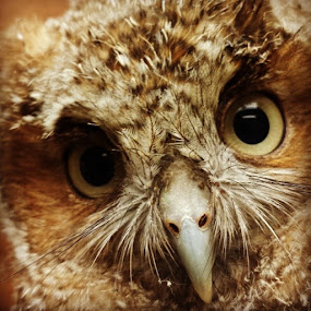 Great horned  owlet by Rusty Jhorn - Animals Birds (  )