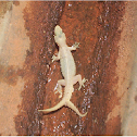 Two Tailed Lizard