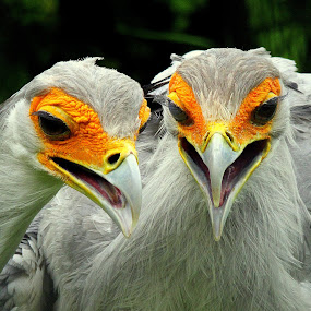 Secretary Bird by Ralph Harvey - Animals Birds ( bird, secretary bird, wildlife, ralph harvey, marwell zoo,  )