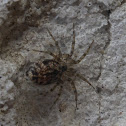 Wall Spider
