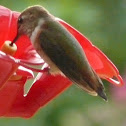Black-chinned Hummingbird(fm)