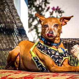 Givin' the Dog a Bone by Russ Heim - Animals - Dogs Portraits ( miniature pincher, tasty, bone, lounge, tounge, dog, minpin, portrait )