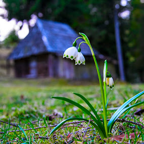 Spring.. by Costel Ciobanu - Flowers Flowers in the Wild ( love, house, flowers, spring )