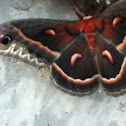 Cecropia moth (male)