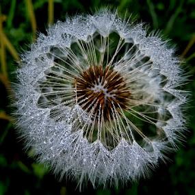 maslacak by Dunja Kolar - Flowers Flowers in the Wild ( maslacak )