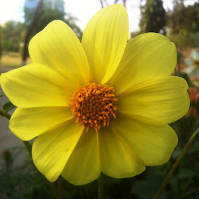 Yellowish by Khalid Farooq - Instagram & Mobile iPhone ( pakistan, lahore, yellow, spring, flower,  )