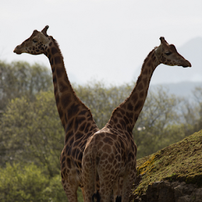 Look there, or here by Marsilio Casale - Animals Other Mammals ( nature, giraffe, animal )