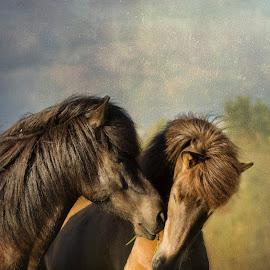 Friends  by Anna Guðmundsdóttir - Animals Horses ( iceland, icelandic horses, horses, íslenskir hestar, hestar, ísland )