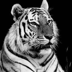 Tiger 003.jpg