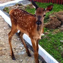 Young deer by Claudiu Petrisor - Instagram & Mobile iPhone ( mountain, nature, rescue, young, deer,  )