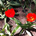 Red Tulips/Bleeding Hearts