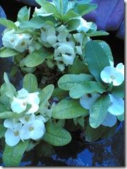Euphorbia Putih