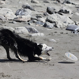 Border Collie by Kansas Allen - Animals - Dogs Playing ( playing, sand, border collie, white, catch, puppy, dog, rocks, black, frisbee, jump, river )