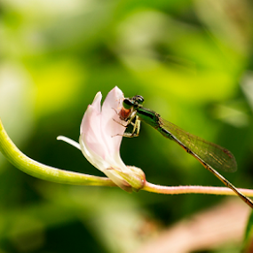 dragonfly by Fathya Zainuri - Animals Insects & Spiders ( kinjeng, capung, dragonfly, insects, animal )