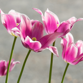 Pink Tulips by Merina Tjen - Lim - Flowers Flower Gardens ( tulip; pink; white; flower; holland )