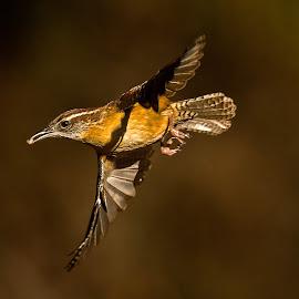 Carolina Wrenn by Roy Walter - Animals Birds ( carolina wrenn, flight, animals, nature, wings, wildlife, birds )