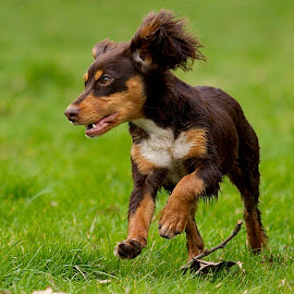 by James Blyth Currie - Animals - Dogs Puppies ( playing, cockerspaniel, kensington gardens, canon7d, london, f2.8, hyde park, canon70-200mm, puppy, dog, running )