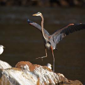 Touch Down by Roy Walter - Animals Birds ( great blue heron, animals, nature, wildlife, birds, river )