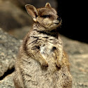 Mareeba Rock Wallaby