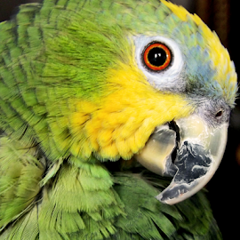 Rita by Ana Cárdenas O - Animals Birds ( animals, nature, green, parrot, close up, birds, eye )