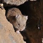 White-bellied Grass Mouse