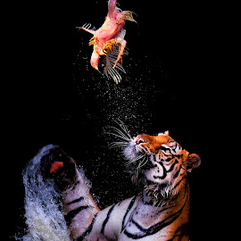 Sumatran Tiger by Markus Gunawan - Animals Lions, Tigers & Big Cats ( big cat, tiger, sumatran tiger, animal )