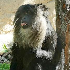 by Helen Bagley - Animals Other Mammals ( wild life, zoo, monkeys, wildlife, monkey )