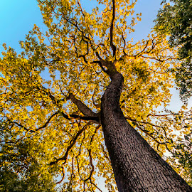 Oak by Jim Cunningham - Nature Up Close Trees & Bushes ( trunk, sky, tree, oak, perspective, yellow )