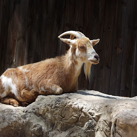 Tired Old Goat by Anne Johnson - Animals Other Mammals ( farm, herbivore, zoo, goat, animal )