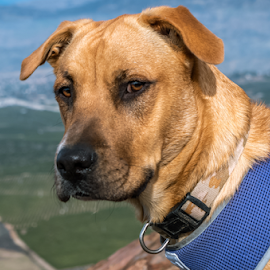 Outside. by Raymond Collins - Animals - Dogs Portraits ( animals, california trails, dogs, hikes, picture of hiking dog, dog hiking, hiking, adventure, mountains, simpson park, dog, mountain dog, hike, dog that hikes,  )
