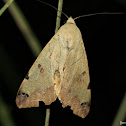 Egyptian Noctuid