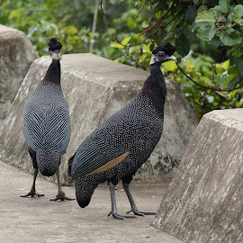 Crested Guinea Fowls by Judy Patching - Novices Only Wildlife ( crested guinea fowl )