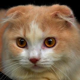 by Cacang Effendi - Animals - Cats Portraits ( cattery, kitten, chandra, catas, animal )