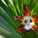 Huntleya Orchid
