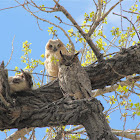 Great Horned Owl&Owlet
