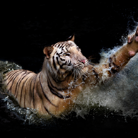 reaching out by Ivan Lee - Animals Lions, Tigers & Big Cats ( canon, water, reach, splash, tiger,  )